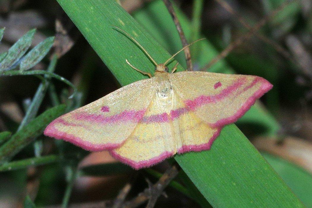 7146-–-Haematopis-grataria-–-Chickweed-Geometer-Moth-20140927-Daniel-Webster-WS-barn-3026_Cs