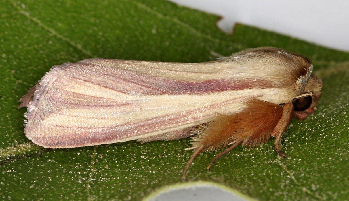 10434 – Dargida rubripennis 20200709 Burrage Pond WMA, Hanson, MA A0675_Cs