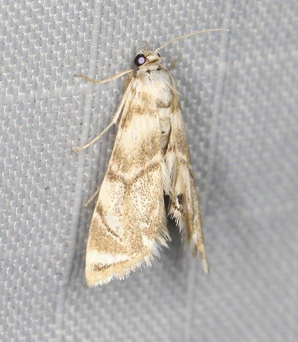 4787 – Eoparargyractis plevie 20200709 Burrage Pond WMA, Hanson, MA A0579_Cs