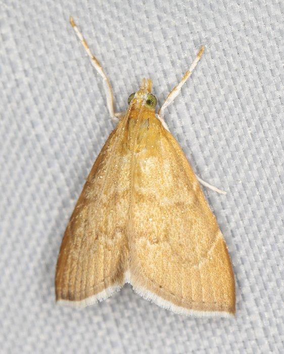 4877 – Aethiophysa invisalis 20200709 Burrage Pond WMA, Hanson, MA A0649_Cs