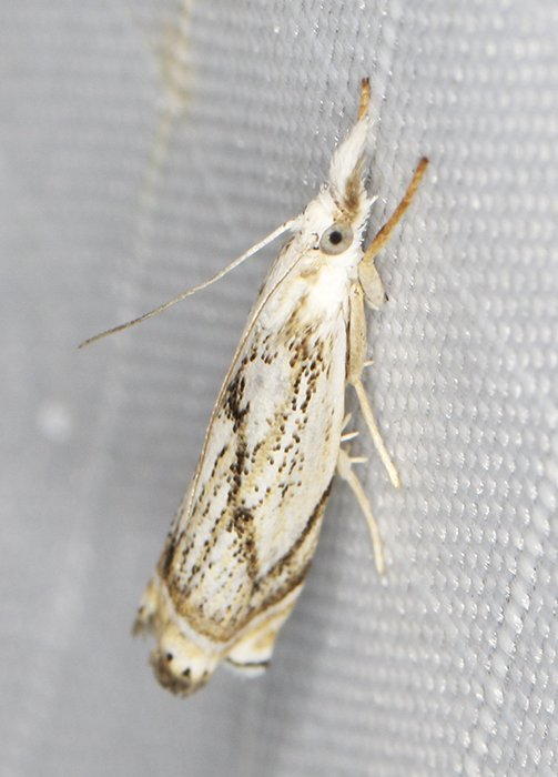 5361 – Crambus albellus 20200709 Burrage Pond WMA, Hanson, MA A0592_Cs