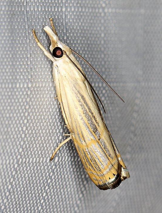 5450 – Parapediasia decorellus 20200709 Burrage Pond WMA, Hanson, MA A0593_Cs