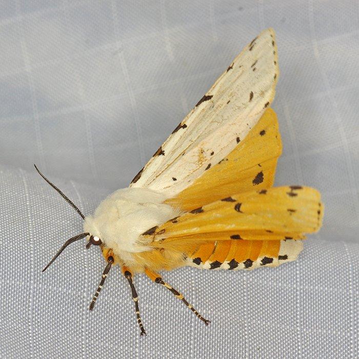8131 – Estigmene acrea – Salt Marsh Moth 20150524 Daniel Webster WS FH 4307_Cs