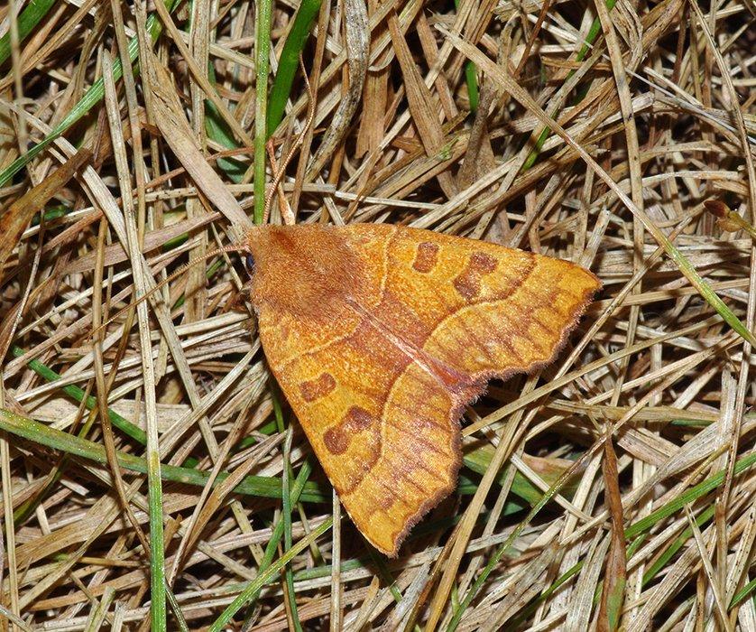 9952 – Eucirroedia pampina – Scalloped Sallow Moth 20140927 Daniel Webster WS FH 3034_Cs
